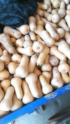 陕西省汉中市汉台区奶油南瓜 1~2斤 长条形