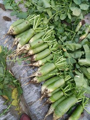 山东省潍坊市寿光市青皮萝卜 1~1.5斤
