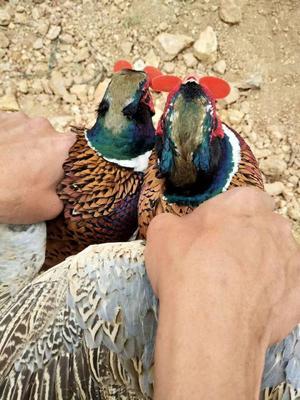 云南省普洱市澜沧拉祜族自治县七彩山鸡 2-3斤