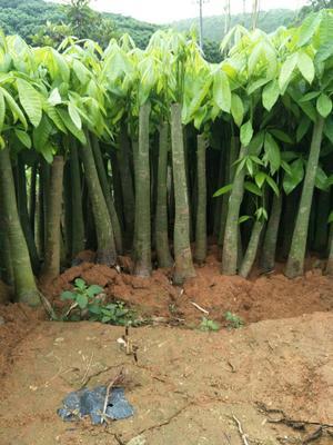 广西壮族自治区钦州市灵山县发财靓树