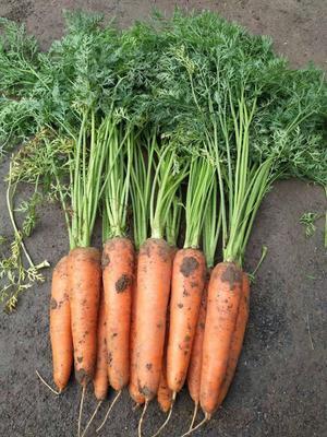 山东省青岛市平度市三红胡萝卜 15cm以上 2两以上 5cm以上