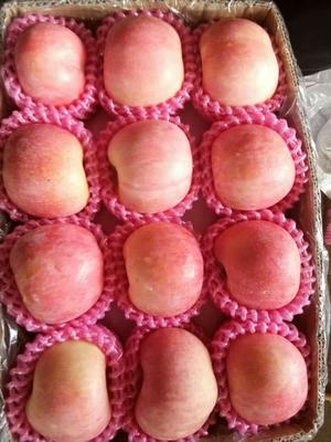 山东省临沂市河东区红富士苹果 纸袋 条红 70mm以上
