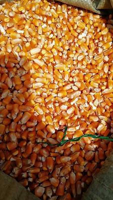甘肃省定西市陇西县玉米干粮 霉变≤1% 净货