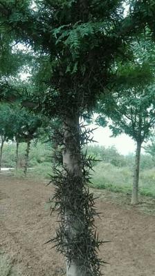 河南省洛阳市嵩县皂角树