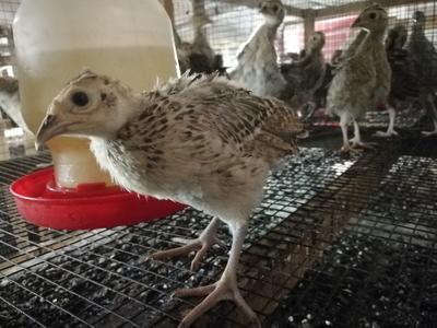 四川省泸州市古蔺县野山鸡 1斤以下
