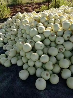 海南省文昌市文昌市白玉甜瓜 0.3斤以上