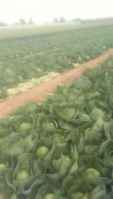 山东省德州市乐陵市绿甘蓝 2.5~3.0斤