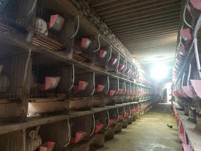 云南省红河哈尼族彝族自治州泸西县肉兔 3-5斤