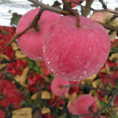 陕西省咸阳市礼泉县红富士苹果 纸袋 条红 75mm以上