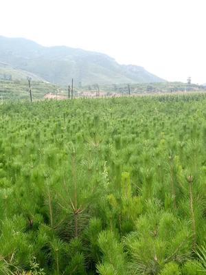 山西省忻州市五台县黑皮油松