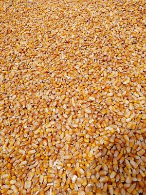 新疆维吾尔自治区伊犁哈萨克自治州霍城县杂交玉米粒 霉变≤1% 杂质很少