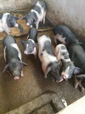 甘肃省临夏回族自治州和政县藏香猪 60斤以上