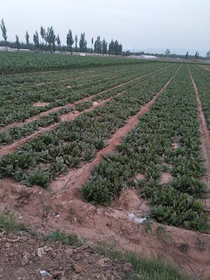 山西省晋中市榆次区大叶菠菜 25~30cm