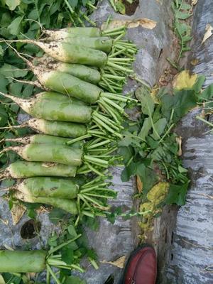 山东省潍坊市寿光市青皮萝卜 1.5~2斤