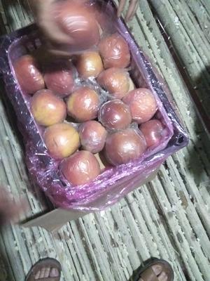 山西省运城市临猗县红富士苹果 膜袋 片红 75mm以上