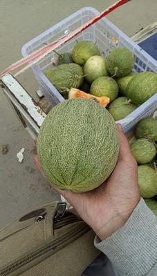 山东省菏泽市牡丹区西州密25号 1斤以上