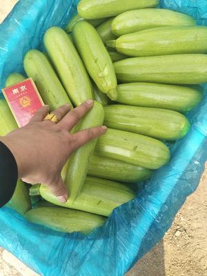 山西省晋中市榆次区绿皮西葫芦 0.6~0.8斤