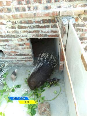 广东省江门市恩平市中华豪猪 100斤以上