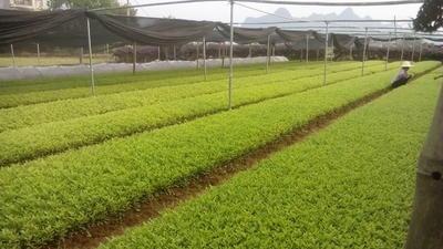 广西壮族自治区桂林市荔浦县春鹃 0.5米以下