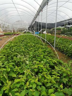 福建省漳州市龙海市紫花三角梅 0.2~0.5米