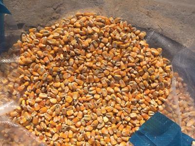 四川省广安市邻水县玉米干粮 霉变≤1% 净货