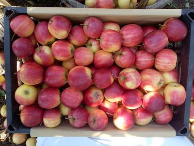 吉林省四平市铁东区123苹果 光果 条红 60mm以上
