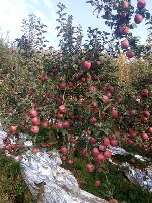 云南省昭通市昭阳区冰糖心苹果 光果 全红 75mm以上