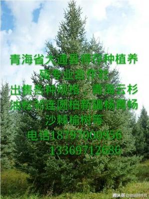 青海省西宁市大通回族土族自治县青海云杉