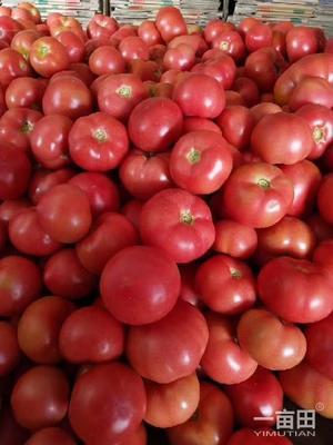 这是一张关于硬粉番茄 不打冷 硬粉 弧三以上的产品图片