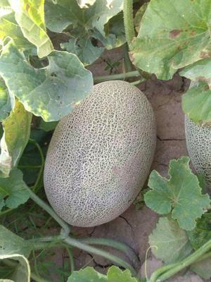 内蒙古自治区巴彦淖尔市临河区西州蜜瓜 3斤以上