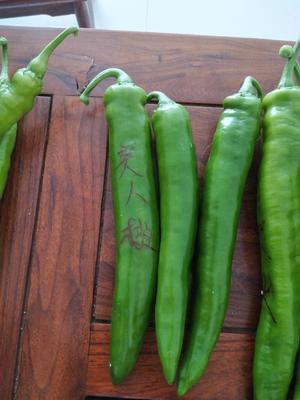 山东省潍坊市寿光市美人椒种子 95%以上 杂交种
