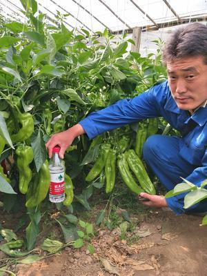 山东省潍坊市寿光市牛角椒种子 95%以上 杂交种