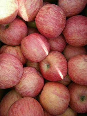 山东省临沂市沂水县冰糖心苹果 纸袋 条红 75mm以上