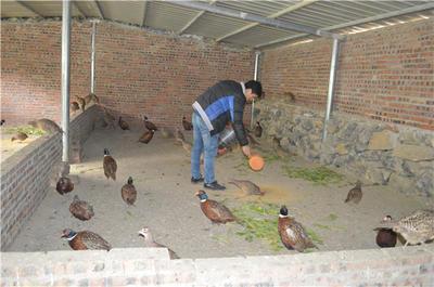 甘肃省武威市凉州区七彩山鸡 3-4斤