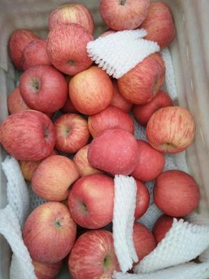 陕西省延安市洛川县洛川苹果 纸袋 片红 70mm以上