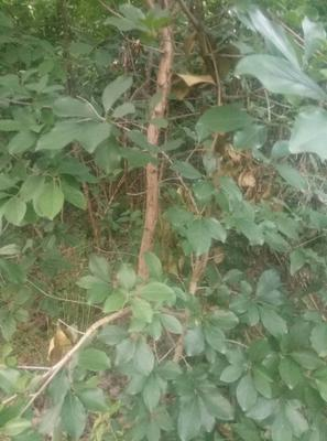 这是一张关于流苏树的产品图片