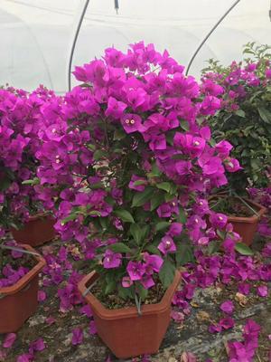 这是一张关于紫花三角梅 0.2~0.5米的产品图片