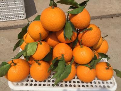 四川省眉山市东坡区青见柑桔 8cm以上 4两以上