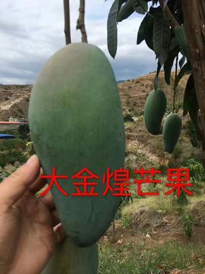 四川省攀枝花市东区金煌芒 7两以上