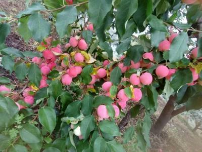 吉林省四平市铁东区K9苹果 光果 片红 60mm以下