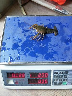 这是一张关于盱眙小龙虾 人工殖养 7-9钱的产品图片