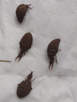 这是一张关于蚂蚁的产品图片