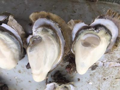 这是一张关于湛江牡蛎 人工殖养 3-5只/龙8国际官网官方网站的产品图片