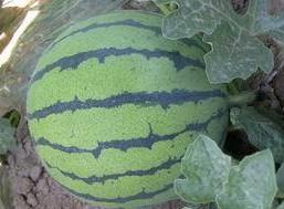 这是一张关于京欣西瓜 有籽 1茬 8成熟 8斤打底的产品图片