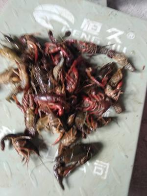 广西壮族自治区桂林市雁山区清水小龙虾 塘虾 2-4钱
