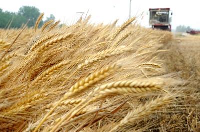 湖北省襄阳市宜城市普通小麦