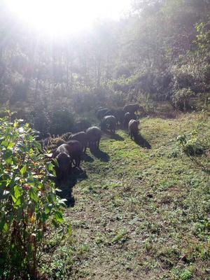 这是一张关于黑土猪 200-300斤的产品图片