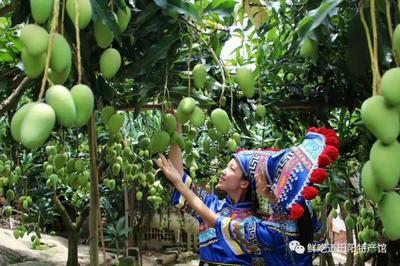 广西壮族自治区百色市田阳县台农芒 2两以上
