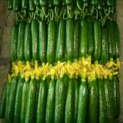 甘肃省武威市凉州区小黄瓜 18cm以下 干花带刺