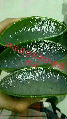 江苏省南通市如皋市库拉索芦荟 20cm以上